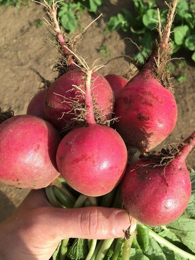 Radishes Harvested In Garden
