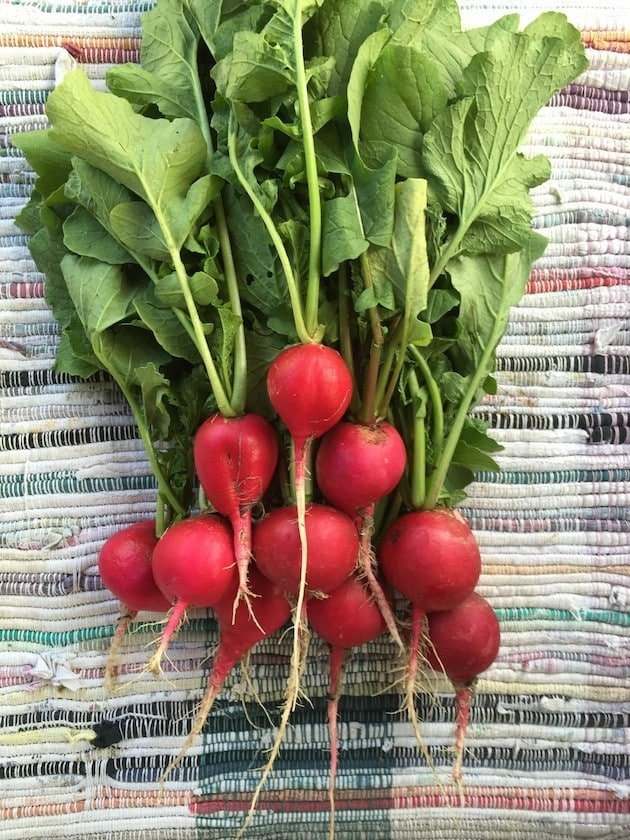 Raw Radishes Just Harvested