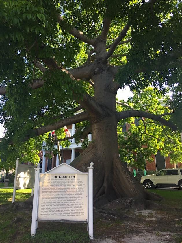 Giant Banyan Tree in Key West FL