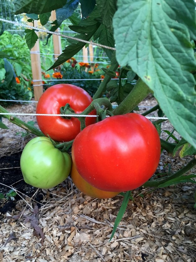 Tomatoes on the vine in garden