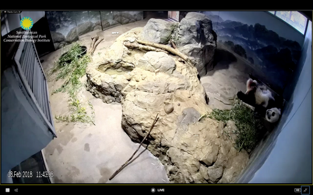 Panda Cam at Washington Smithsonian Zoo